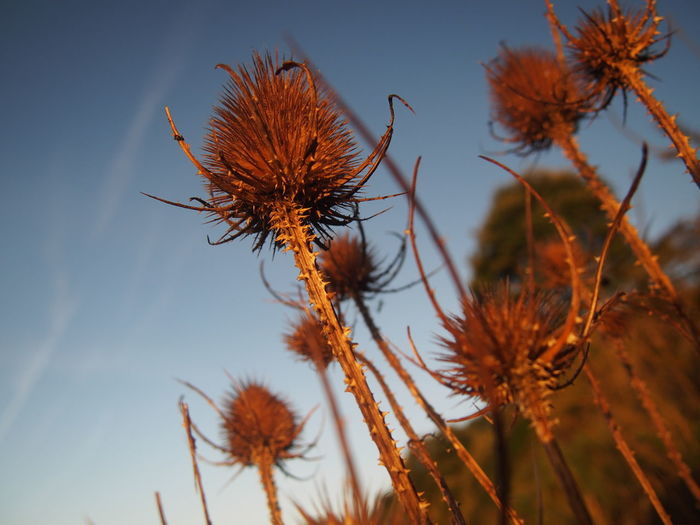 Low Angle View Of Thistle