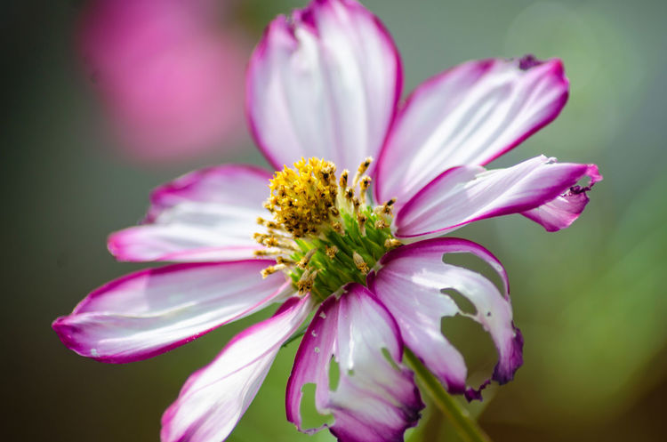 A cosmos flower which has had a couple of it's petals partly eaten. Cosmos Beauty In Nature Close-up Day Flower Flower Head Flowering Plant Fragility Freshness Growth Nature No People Petal Pink Color Plant Pollen Selective Focus Vulnerability