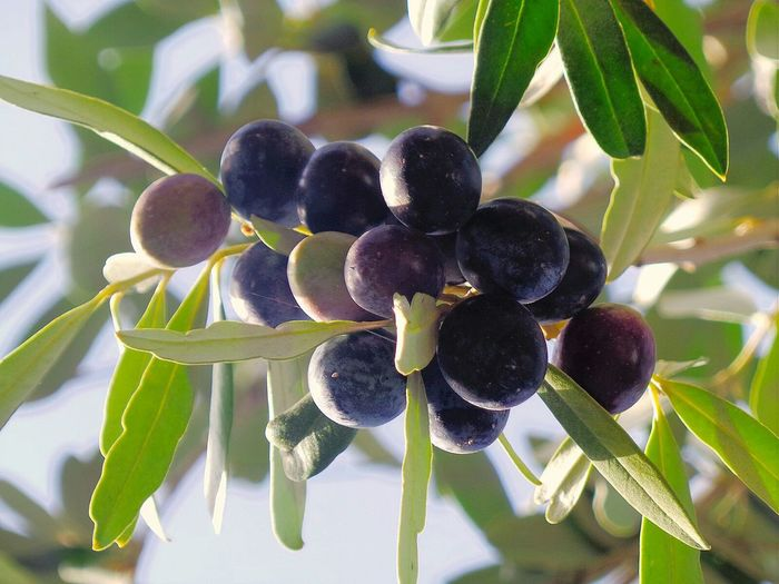 Growth Nature Fruit Tree Plant Close-up Black Olive Food And Drink No People Healthy Eating Leaf Olive Tree Freshness Outdoors Green Olive Day Natural Beauty EyeEm Gallery Nature Collection EyeEm Best Shots Natural Pattern Streetphotography Beauty In Nature Olive Tree Freshness Adapted To The City Live For The Story
