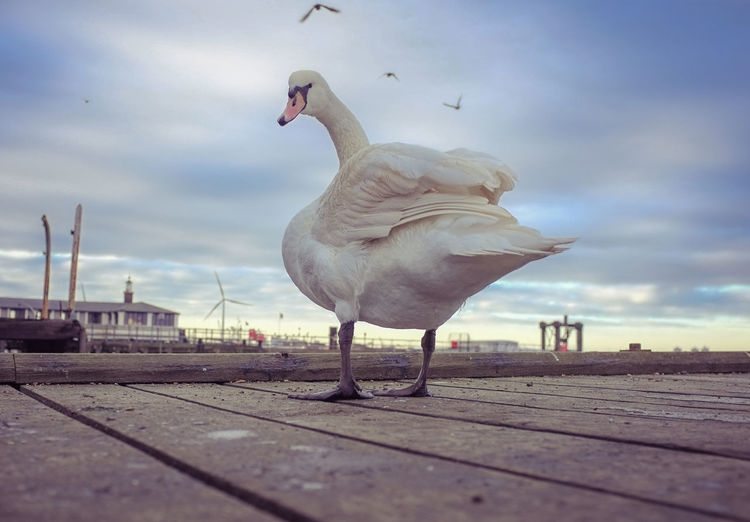 Low angle view of swan on boardwalk against sky