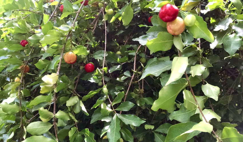 Tropical fruit, very nice, tipic fron the centre of Brazil. Beauty In Nature Berry Fruit Close-up Day Food Food And Drink Freshness Fruit Fruits Green Color Growth Healthy Eating Leaf Nature No People Outdoors Plant Plant Part Red Ripe Tree Tropical Tropical Fruit Wellbeing