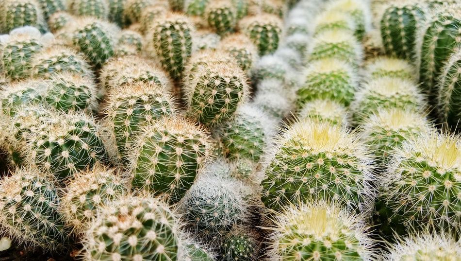 Prickly Pear Cactus Arid Climate Desert Cactus Full Frame Uncultivated Thorn Close-up Sky Plant Barrel Cactus Succulent Plant Spiky Spiked Plant Life Needle - Plant Part Growing