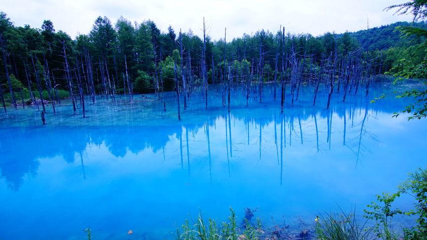 美瑛の青い池。