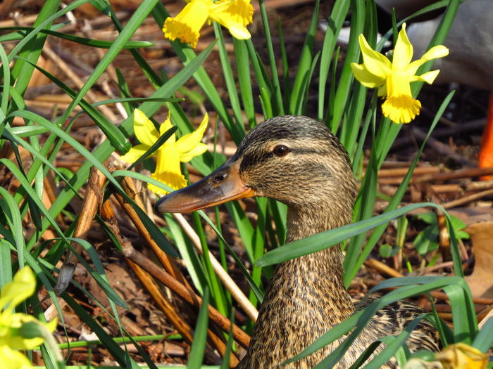 Animal Wildlife Animals In The Wild Vertebrate Animal Animal Themes Bird Duck Ducks Birds Bird Photography Birds Of EyeEm  Birds_collection Spring Springtime Spring Has Arrived Wild Duck Parklife Mallard Duck Mallard Canard One Animal Animal Head  Poultry Beak Close-up Plant Nature Day No People Growth Focus On Foreground Beauty In Nature Green Color Flowering Plant