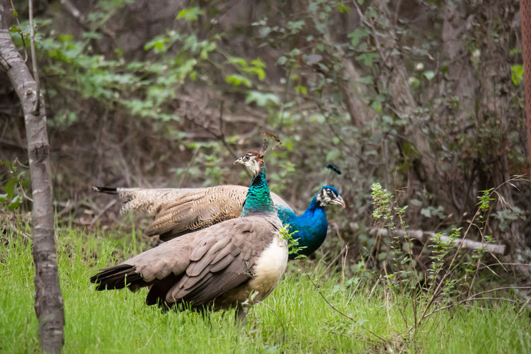 Pecking Order #1 Green Animal Animal Themes Animal Wildlife Animals In The Wild Beauty In Nature Bird Blue Colorful Day Field Focus On Foreground Grass Green Color Group Of Animals Land Nature No People Outdoors Peacock Peafowl Plant Profile View Tree Two
