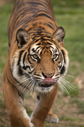 Animal Animal Themes Animal Wildlife Bengal Tigers Dinner Time Focus On Foreground Licking Lips Mammal Nature One Animal Outdoors Tiger Tongue Tongue Out Endangered Species Endangered Animals Endangered  The Great Outdoors - 2017 EyeEm Awards