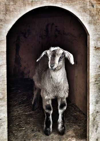 """""""A new buddy"""" Goat Goats Baby Goat Baby Kennel Taking Shelter Too Cute! Cute Pets Curious Animals"""