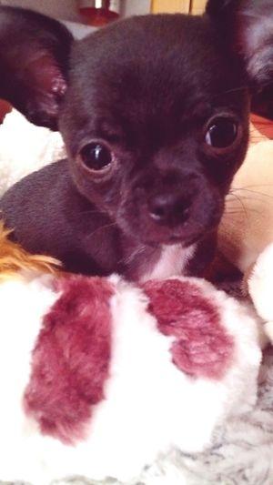 Chiot Chihuahua Ma Boule De Poil Chien Peluche