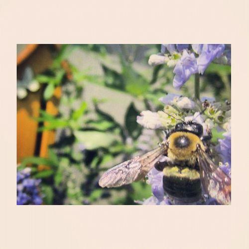 Bumble Bee Flight 20likes Jj_forum Awesome_shots Garden Flowersofinstagram Flower Instawow Bee Teg Bumblebee Got_talent Wings Kes_favs Blackandyellow Unedited Sspics Nofilter Macro_power_hour All_shots Macrogardener 10likes Instasweet_nature Jj  Statigram
