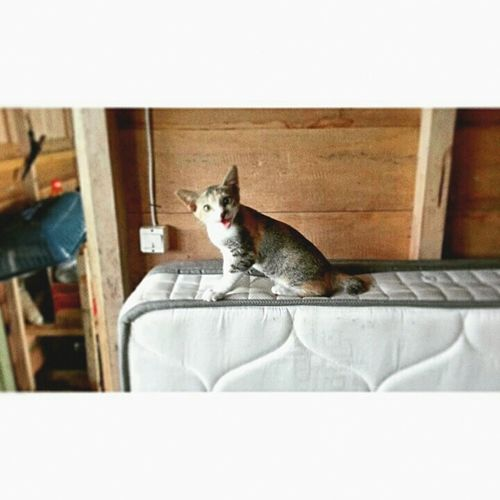 Pets Sitting One Animal Indoors  Domestic Animals No People Day Mammal Cat Islandcats Crazycat