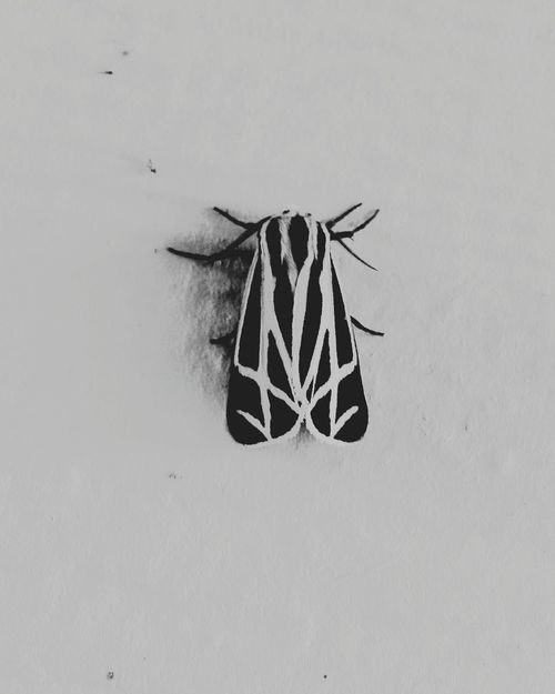 Monochrome Photography Animal Themes Insect Close-up Wildlife Nature Animals In The Wild Moth Black & White Black Moth Insect Photography Insects Beautiful Nature Insect Collection Bugsofeyeem Bug