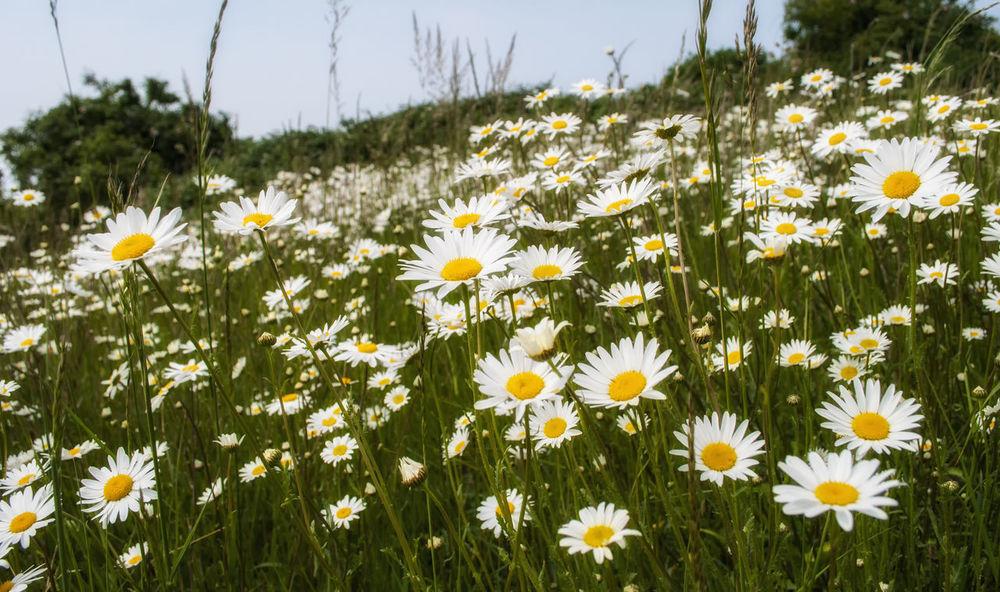 We love daisies. Summer Nature On Your Doorstep Wildlife & Nature Nikon Nikond3000 Nature Photography England Daisies Flowers Daisies Field Daisies Flowers Flowers, Nature And Beauty
