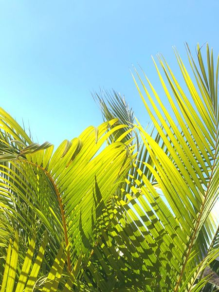 Sunshine and tropical vibes Growth Nature Palm Leaf Low Angle View Palm Tree Clear Sky Beauty In Nature Day No People Green Color Agriculture Sky Tranquility Outdoors Frond Plant Close-up Freshness Blue