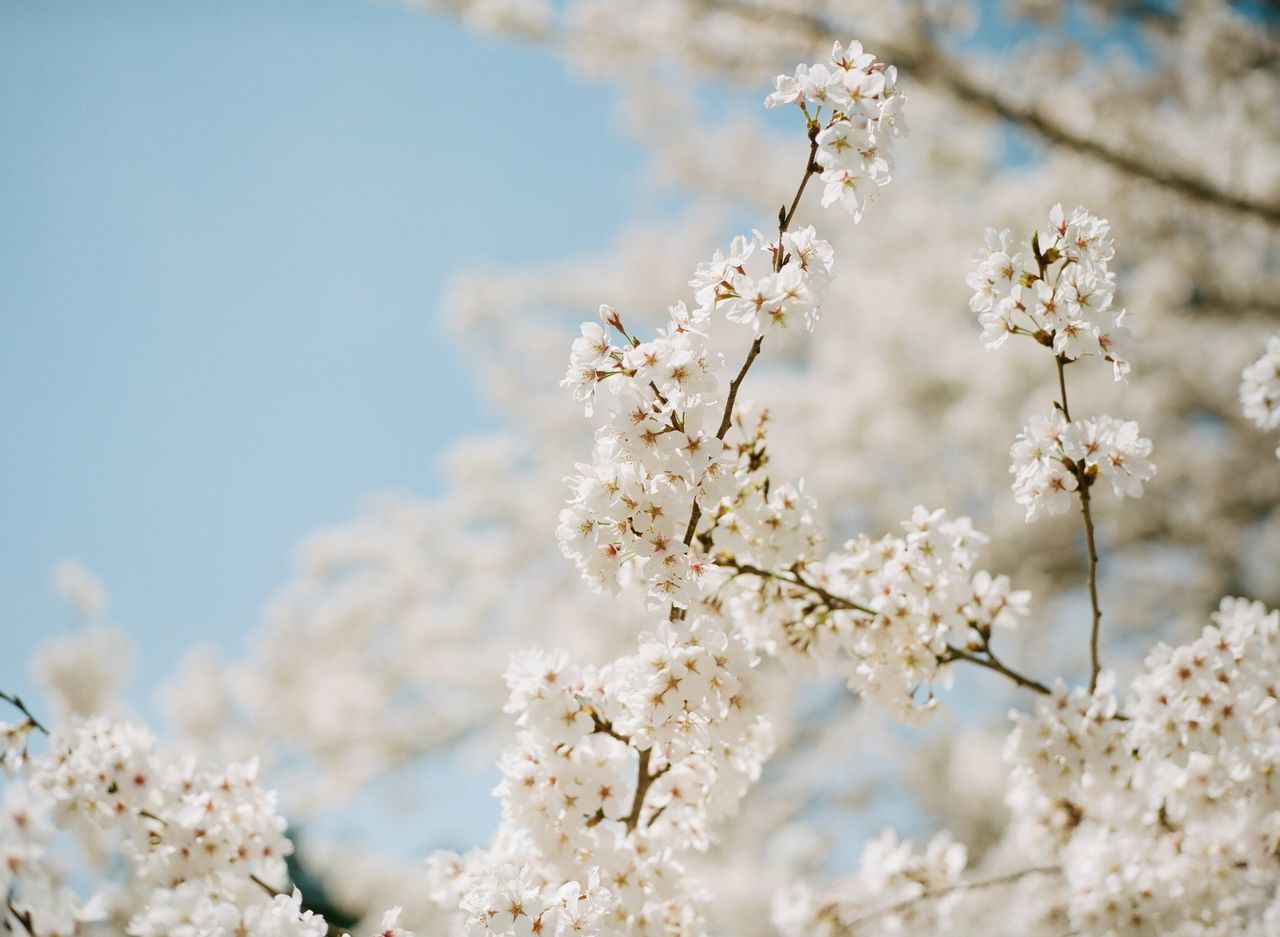 Low Angle View Of Blossom Tree