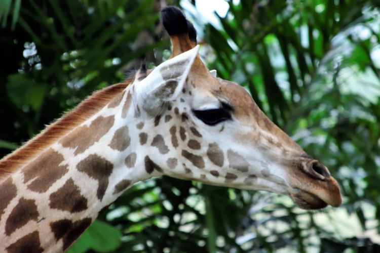 Wildlife and forestry Animal Animal Body Part Animal Head  Animal Markings Animal Neck Animal Themes Animal Wildlife Animals In The Wild Close-up Day Focus On Foreground Giraffe Herbivorous Mammal Nature No People One Animal Outdoors Profile View Tree Vertebrate