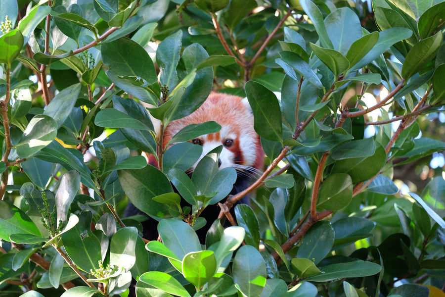 Red Panda hiding in tree Animals Beauty In Nature Botany Leaf No People Red Panda Tree Wellington Zoo Wildlife & Nature