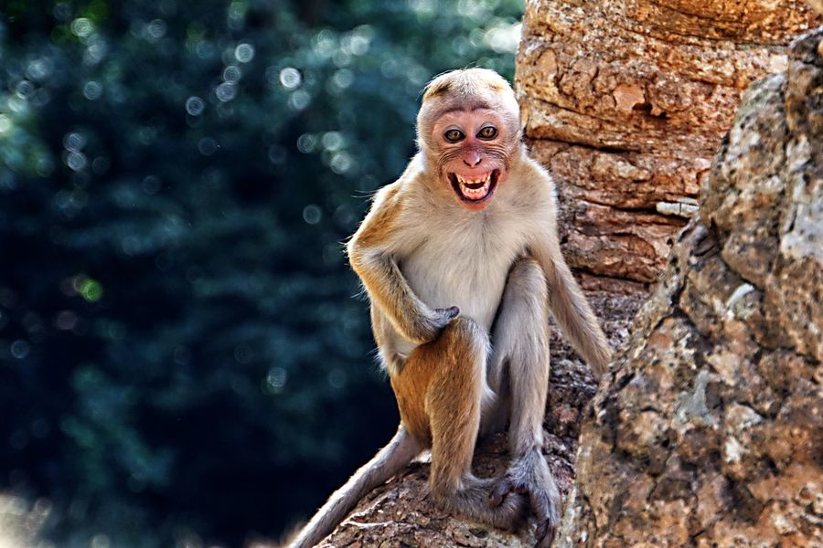 Hutaffe Makake Sri Lanka Monkey Monkey Face Hutaffe Makake EyeEmNewHere Animal Mouth Open Monkey Animal Wildlife Ape Mammal Nature Outdoors One Animal Animals In The Wild Portrait No People Day Animal Themes Close-up