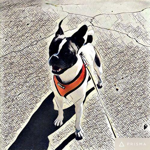 Dog Pets Boston Terrier Loyalty Puppia First Eyeem Photo
