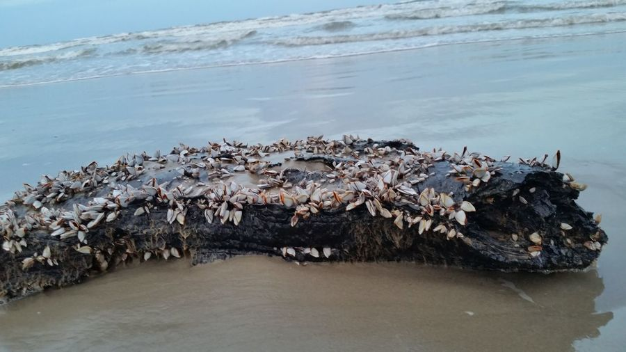 Close-Up Of Log With Barnacles On Beach