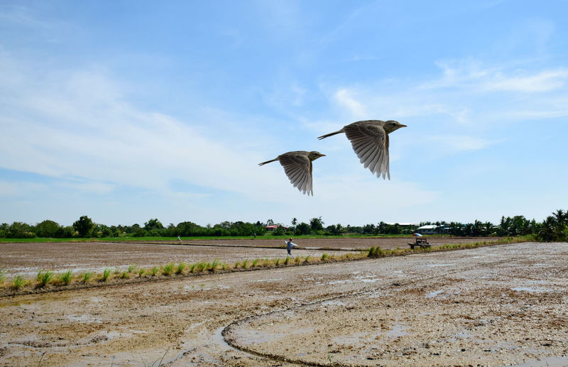 Birds flying over field