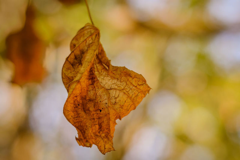 Close-Up Of Dried Autumn Leaf Against Blurred Background