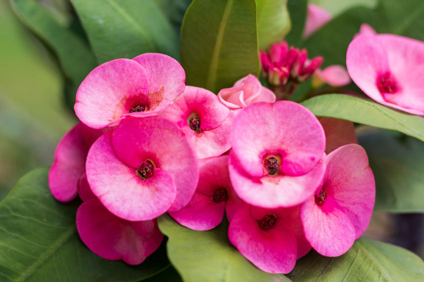 Poy sian flower close-up Pink Color Flower Flowering Plant Plant Beauty In Nature Fragility Petal Growth Inflorescence Vulnerability  Plant Part Outdoors Nature Day Freshness No People Close-up Flower Head Leaf Botany Backgrounds Asian  Poy Sian Flower