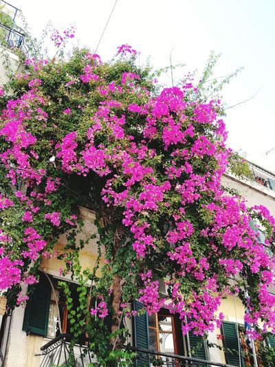 Freshness Purple Growth Flower Plant Low Angle View Pink Color building exterior Tree Beauty In Nature Flowers Flowerporn Flowers,Plants & Garden Flowers, Nature And Beauty