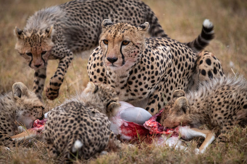 Cheetahs eating animal on field