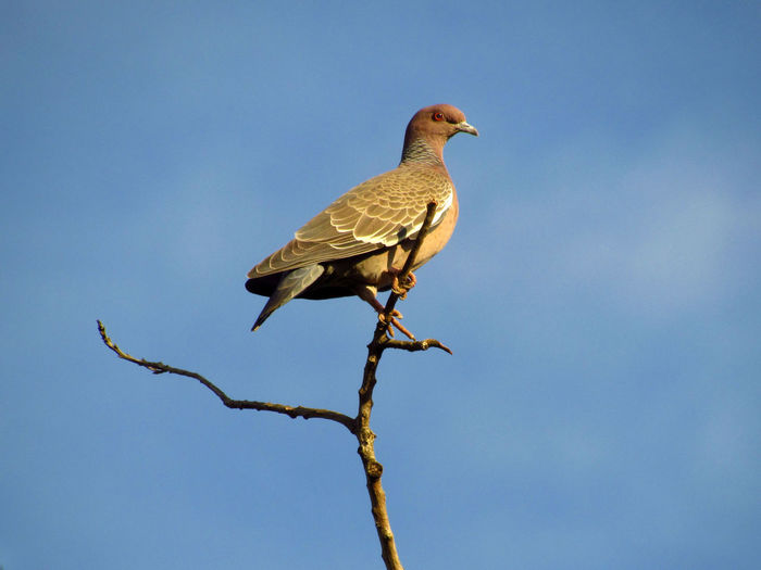 Low angle view of dove perching on branch against sky