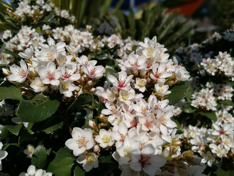 Welcoming spring... Spring Flowers Spring Has Arrived Outdoors Cluster Of Flowers Spring Blossoms White Flowers Flower Heads Petals Fragrance Of Flowers Flowers,Plants & Garden Natures Beauty Perspectives On Nature Growth Nature