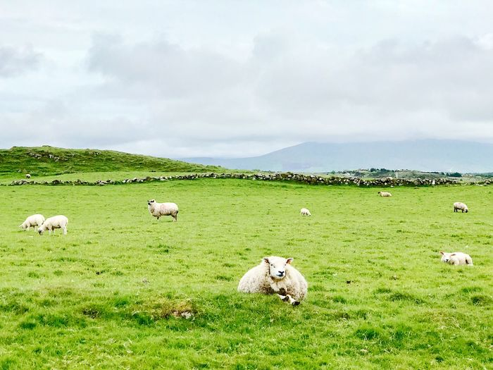 sheep sheep sheep Explore Travel Ireland Livestock Cloud - Sky Mammal Grass Domestic Animals Plant Domestic Green Color Land Sky Animal Field Nature Sheep Animal Themes Landscape Environment Beauty In Nature