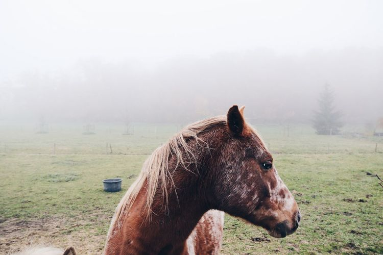 Horse on grassy field in foggy weather