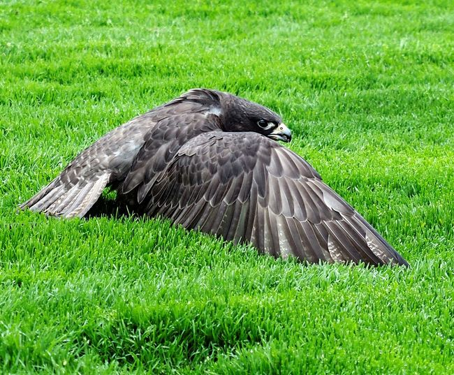 Animal Themes Animal Wildlife Animals In The Wild Bird Bird Of Prey Black Color Close-up Day Field Grass Green Color Nature No People One Animal Outdoors Raven - Bird Spread Wings
