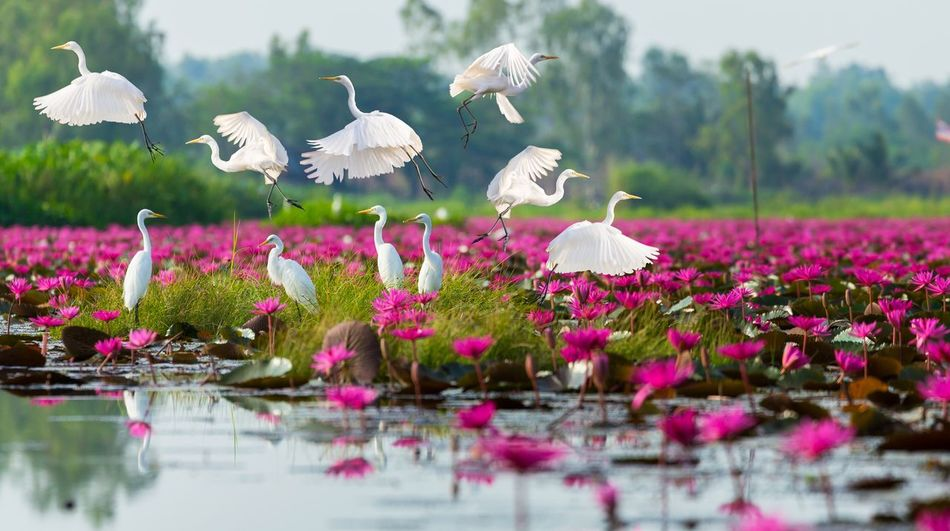 White herons flying and standing on lake have pink lotus blooming field around. Field Blossom Blooming Lotus Pink Heron White Plant Flower Beauty In Nature Flowering Plant Growth Nature Freshness Water Lake Vulnerability  Day Selective Focus Pink Color Animals In The Wild Animal Outdoors Reflection