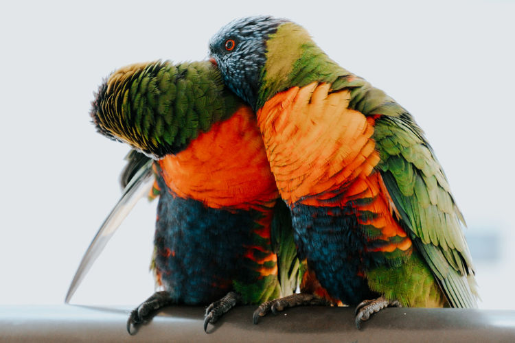 Close-up of parrot perching on a bird