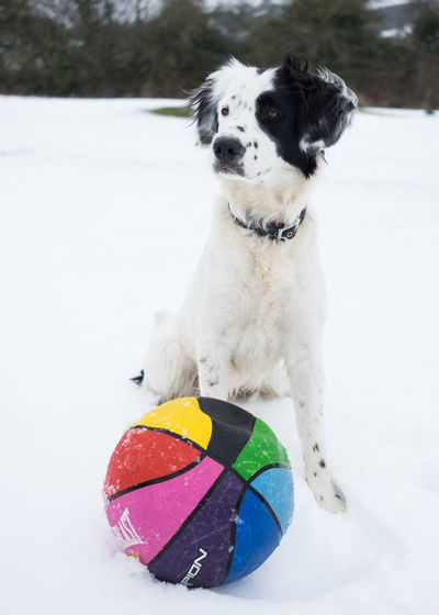 Colors Animal Themes Ball Cold Temperature Day Dog Domestic Animals Mammal Nature No People One Animal Outdoors Pets Snow Winter