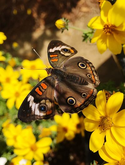 Buckeye Beauty