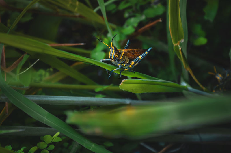CYBORG EyeEm Nature Lover Animal Animal Themes Animal Wildlife Animal Wing Animals In The Wild Beauty In Nature Blade Of Grass Butterfly - Insect Close-up Day Grass Green Color Growth Insect Invertebrate Leaf Locust Nature No People One Animal Outdoors Plant Plant Part Selective Focus