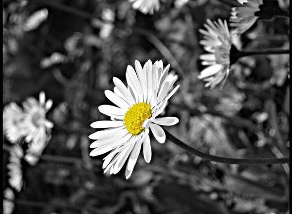 Flower Daisy Bw Black White