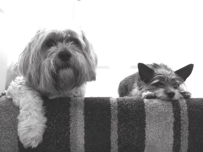 Close-up of dogs on sofa