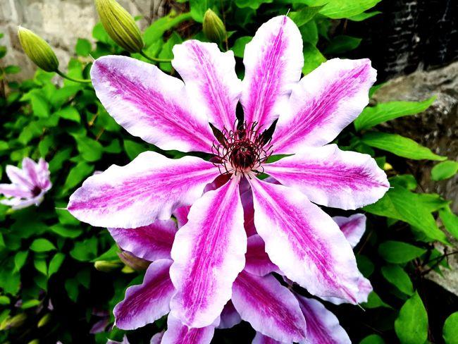 Flower Head Flower Pink Color Petal Purple Close-up Blooming Plant