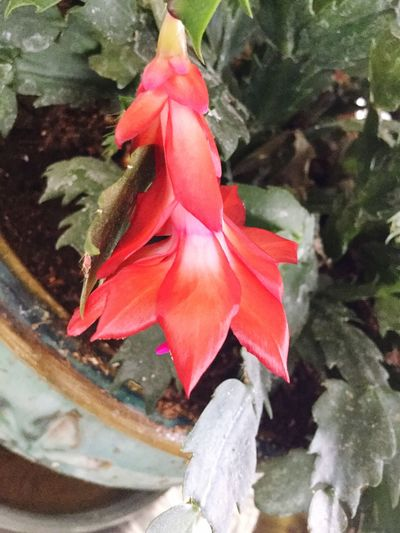 Flower Close-up Plant Petal Flower Head Christmas Cactus Flowers bloom No People Red Plant Growth EyeEmNewHere