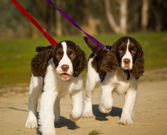 Two English Springer Spaniel puppies on leash Exercise Siblings Walk Animal Themes Control Day Dog Domestic Animals Leash Litter Looking At Camera Mammal Nature No People Outdoors Pets Portrait Puppies Puppy Training