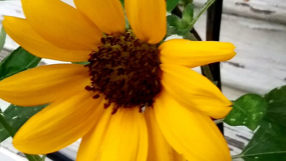 Yellow Sunflower Botany Close-up Macro Beauty In Nature Blossom Flower Head Nature Outdoors Freshness Flower Missouri_photos EyeEm Nature Lover Earth Nature_collection No People Eyeem Garden Garden Photography Plants 🌱 EyeEm Flower Love Nature Fragility Petal Plant