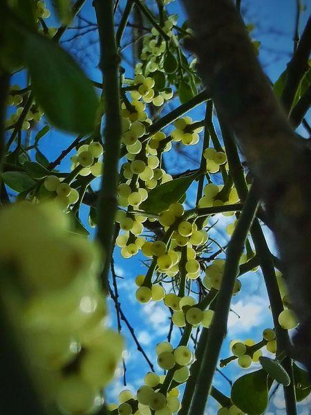 Macro Beauty Showcase: January Under The Mistletoe Hanging Out Tree HTC One M9
