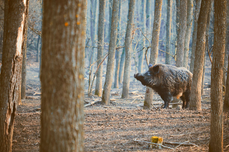 Wild boar standing by trees in forest