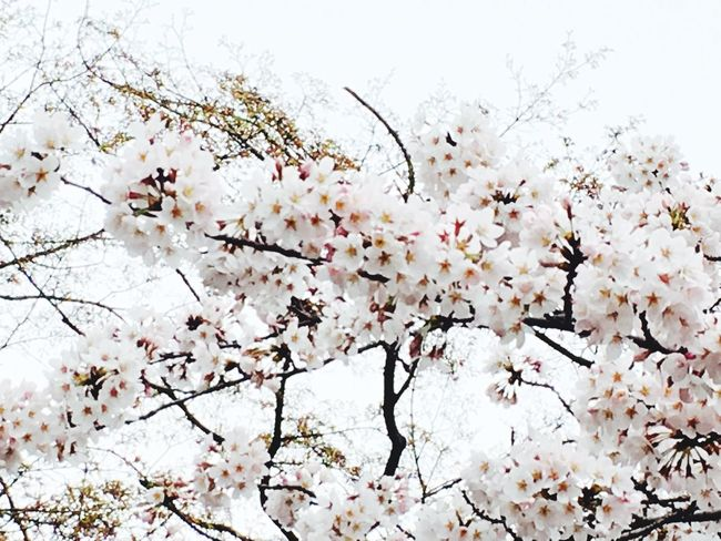 Hello World Hi! Cheese! Relaxing Taking Photos Enjoying Life Nature_collection Sakura 🌸