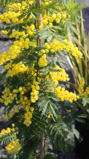 many yellow flower of mimosa in march symbol of international women's day 8th March IWD International Women Day International Women's Day International Women's Day 2018 Love Mimosa Flowers Background Festa Della Donna Festa Delle Donne Flower Gifts International Woman Day International Womens Day Mimosa Mimosa Flower Mimosa Pudica Mimosas Mimose Mothers Day Nature Spring Springtime Yellow ınternational Women's Day