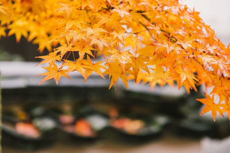 Close-up of orange maple leaves on plant during autumn