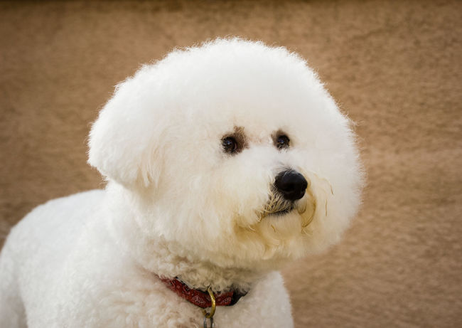 Bichon dog portrait Bichon Frise Dog Toy Dog Group Animal Themes Bichon Bichon Frise Close-up Day Dog Domestic Animals Mammal No People Non-sporting One Animal Outdoors Pets White Color